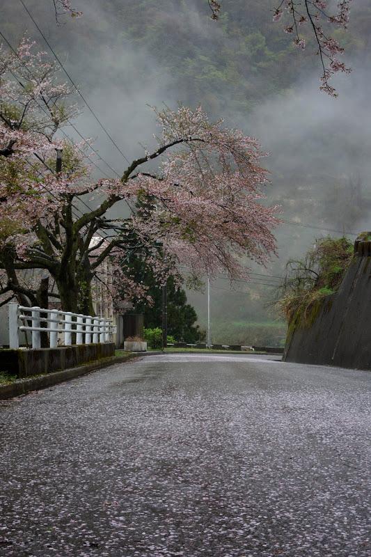 内川ダム 桜流し