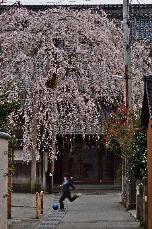早咲き枝垂れ桜 慶恩寺